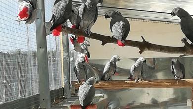 Photo of Avvicinarsi ai pappagalli. I consigli di chi li alleva