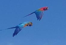 """Photo of """"Passione Pappagalli Free Flight"""" , prima volta nei cieli Campani e volo con """"suspance"""""""